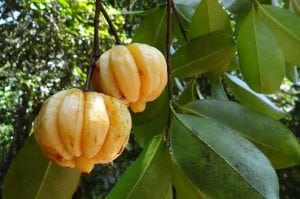 Garcinia Cambogia Garcinia Optima recensione